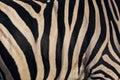 Warm texture of zebra skin Royalty Free Stock Photo