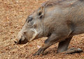 Wart hog african warty pig kneeling on one leg Royalty Free Stock Photography
