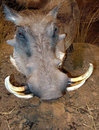 Wart hog close up detail of african warthog Stock Images