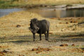 Wart hog the is a wild member of the pig family found in sub saharan africa Royalty Free Stock Image