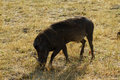Wart hog the is a wild member of the pig family found in sub saharan africa Stock Photo