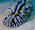 Wart slug red sea variqueux Photographie stock