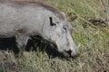 Warthog (Common Warthog) feeding. Delta Okavango,