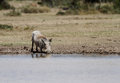 A warthog drinking water is wild animal with pair of tusks they are member of pig family Royalty Free Stock Photography