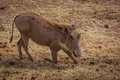Warthog eating photo taken during safari africa tanzania Royalty Free Stock Images