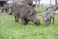 Warthog Family At Lodge In Que...
