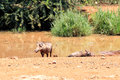 Warthog family near pool south africa Stock Photo