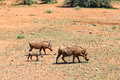 Warthog family walking on the ground south africa Stock Photography