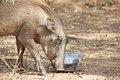 Warthog feeding on human litter Stock Photo