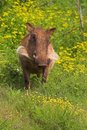 Warthog in Flowers Stock Photography