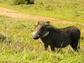 Warthog a on a game farm in south africa Royalty Free Stock Photo