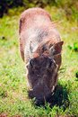 Warthog grazing grass Stock Photos