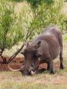 Warthog with huge tusks rooting phacochoerus africanus pumba Stock Image