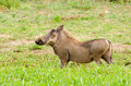 Warthog kruger national park south africa drinking water Royalty Free Stock Image