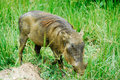 Warthog in Murchison Falls NP, Uganda Royalty Free Stock Photo