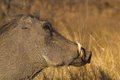 Warthog phacochoerus africanus in kruger national park Stock Images