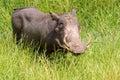Warthog phacochoerus africanus in kruger national park Stock Image