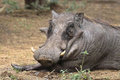 Warthog phacochoerus africanus in kruger national park Stock Photos