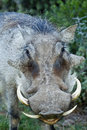 Warthog portrait of a large ugly dangerous showing its teeth Stock Photography