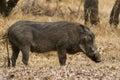 Warthog quiet walking through the bushes in africa Stock Photo