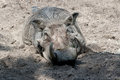 Warthog in the sand Royalty Free Stock Photo