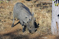 Warthog in South Africa Stock Photography
