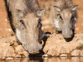 Warthog sow and piglet drinking water in the early morning su sun close up Stock Image