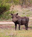 Warthog wet with mud Royalty Free Stock Photo