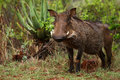 Warthog a young posing for the photo in the wild still wet from the early morning rain Stock Photography
