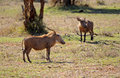 Warthogs Stock Image