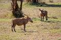 Warthogs Royalty Free Stock Photo
