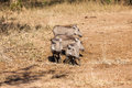 Warthogs calfs water hole wildlife four young offspring at waterhole getting a morning drink animal game reserve park in zululand Stock Image