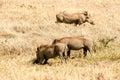 Warthogs, Ngorongoro Crater Royalty Free Stock Photo