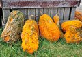Warts on gourds halloween plants and fruits to show sale and cook for food some may be bird houses one day Royalty Free Stock Photography