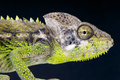 Warty Chameleon / Furcifer verrucosus Stock Photography