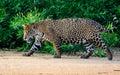 Wary jaguar on the move walking across beach Stock Photo