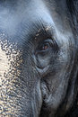 Wary look of thai elephant close up in national park Stock Photos