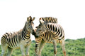 A wary sniff two zebras in herd each other while frisking in the addo elephant national park of south africa Royalty Free Stock Image