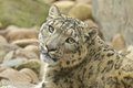 Wary snow leopard sitting between rocks Royalty Free Stock Photos