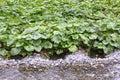 Wasabi Royalty Free Stock Photo