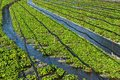 Wasabi field Royalty Free Stock Photo