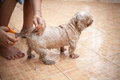 Washing dog in holiday at home Royalty Free Stock Image