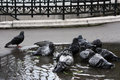 Washing pigeons in paris small pigeon swarm a puddle Stock Image
