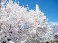 Washington beautiful cherry blossom trees March 2010 Royalty Free Stock Photo