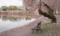 Washington dc cherry blossoms and bench along the tidal basin in Royalty Free Stock Images