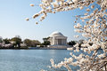 Washington DC Jefferson Memorial Blossoms Royalty Free Stock Photo