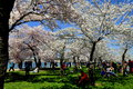 Washington dc tidal basin cherry trees spectacular at peak spring bloom draw crowds along the Royalty Free Stock Photo