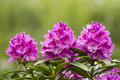 Washington State Coast Rhododendron Flower in full Bloom Royalty Free Stock Photo
