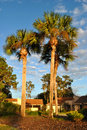 Washingtonia robusta Photos stock