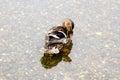 Washtime del pato silvestre Imagen de archivo